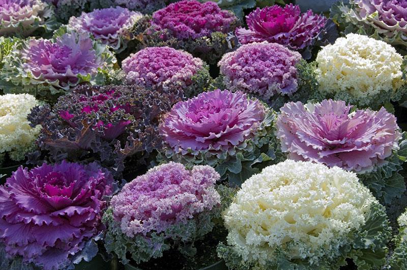 fioreria-michielin-fiori-autunno-inverno-brassica-ornamentale