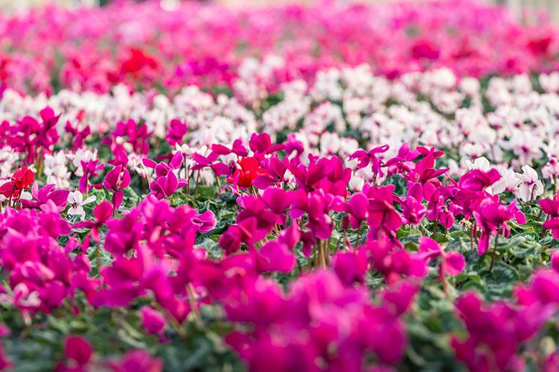 fioreria-michielin-fiori-autunno-inverno-ciclamini