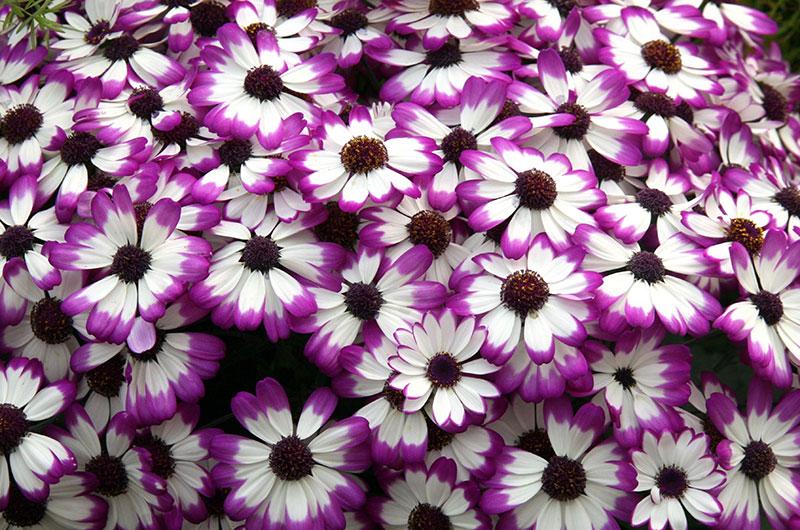 fioreria-michielin-fiori-autunno-inverno-cineraria