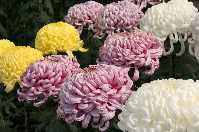 fioreria-michielin-fiori-autunno-inverno-crisantemi