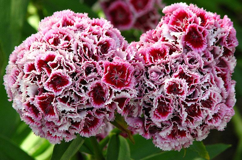 fioreria-michielin-fiori-autunno-inverno-dianthus