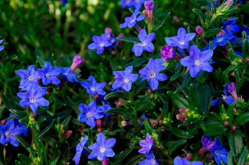fioreria-michielin-fiori-autunno-inverno-lithodora