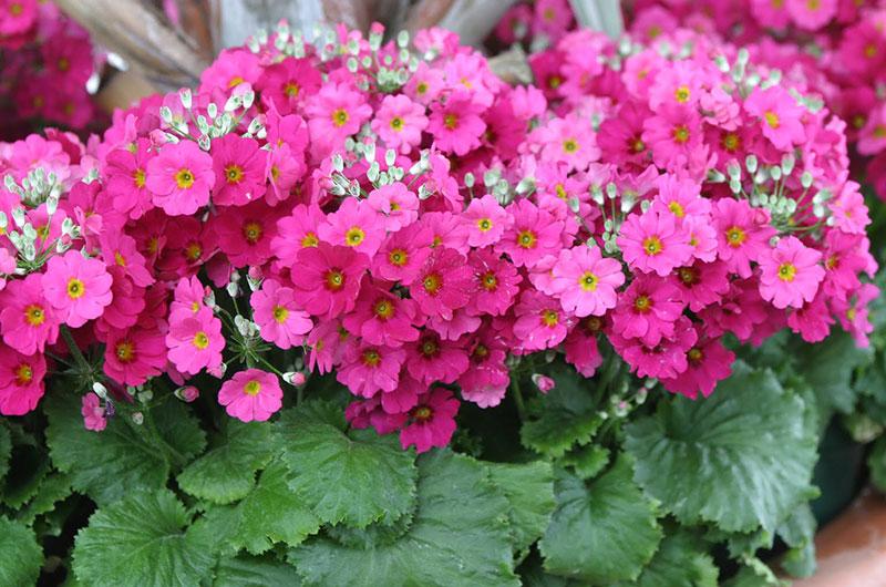 fioreria-michielin-fiori-autunno-inverno-primule-malacoides