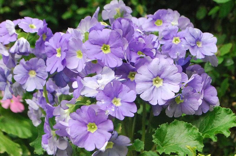 fioreria-michielin-fiori-autunno-inverno-primule-obconiche