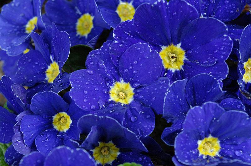 fioreria-michielin-fiori-autunno-inverno-primule