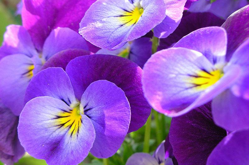 fioreria-michielin-fiori-autunno-inverno-viole