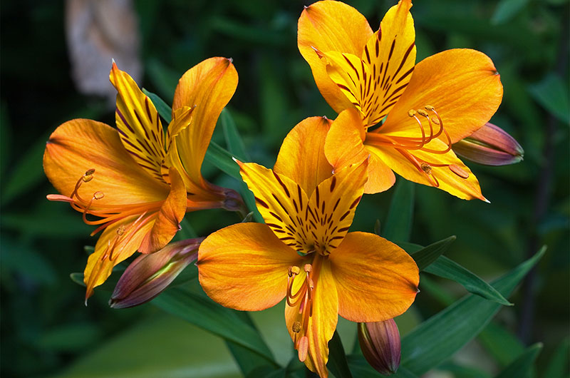 fioreria-michielin-fiori-primavera-estate-alstroemeria