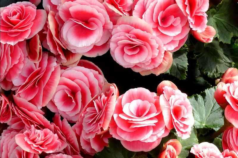 fioreria-michielin-fiori-primavera-estate-begonia-elatior