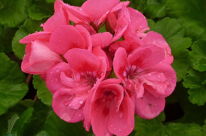 fioreria-michielin-fiori-primavera-estate-gerani