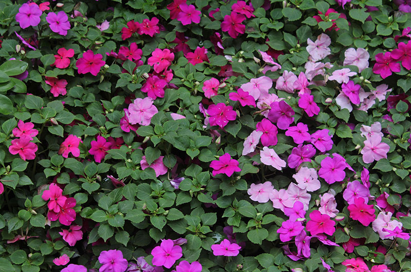 fioreria-michielin-fiori-primavera-estate-impantiens