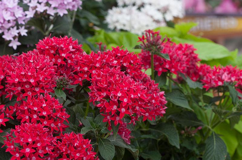 fioreria-michielin-fiori-primavera-estate-pentas