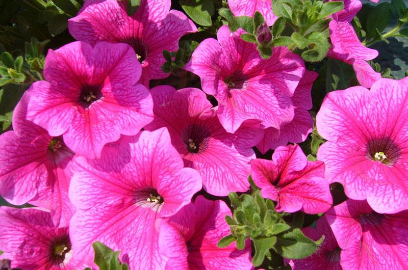 fioreria-michielin-fiori-primavera-estate-surfinia