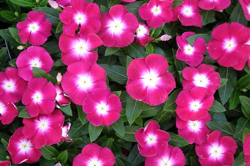 fioreria-michielin-fiori-primavera-estate-vinca